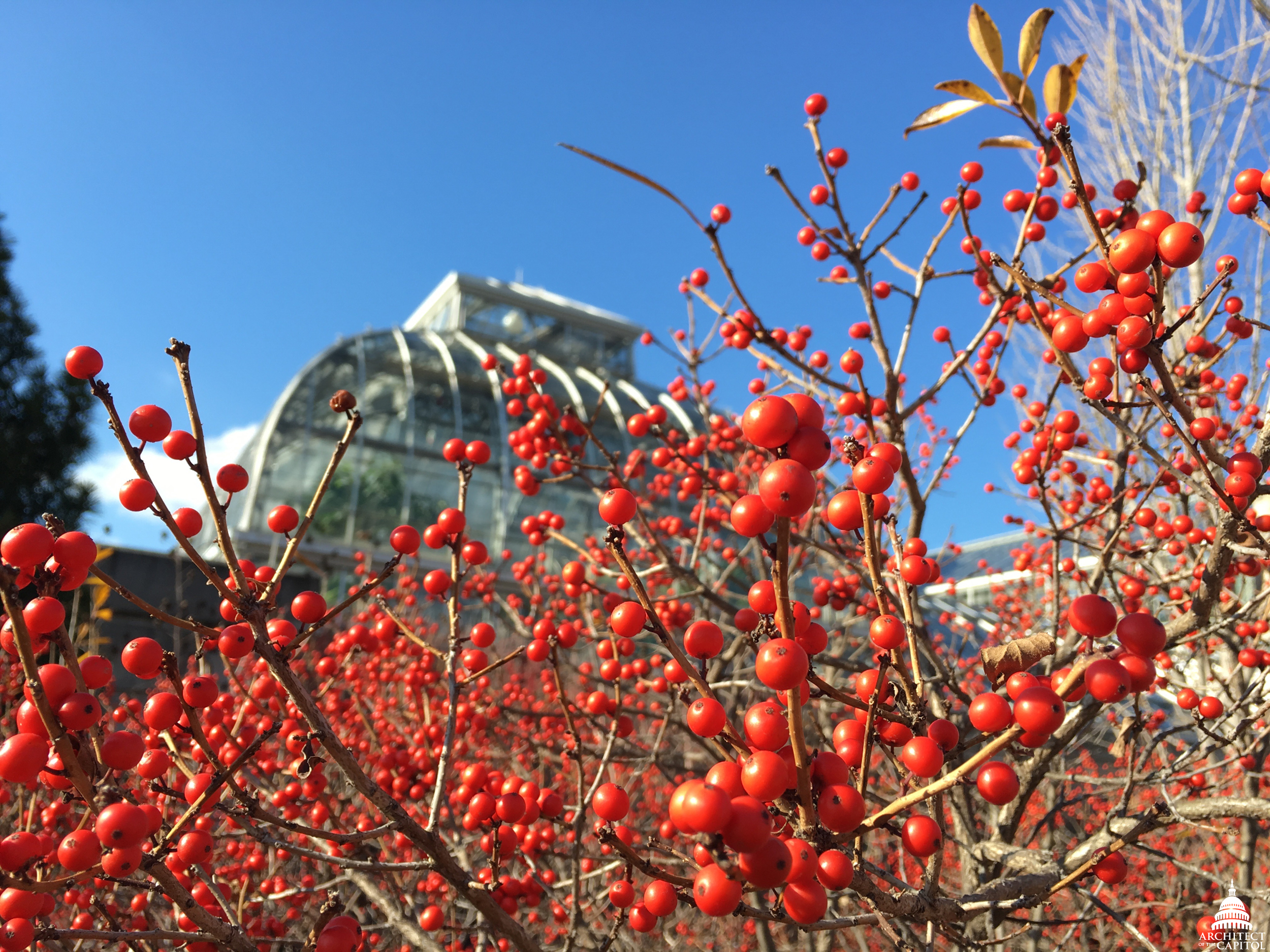 File:Winterberries (Ilex Verticillata)   Winter At United States Botanic  Garden (27549020126