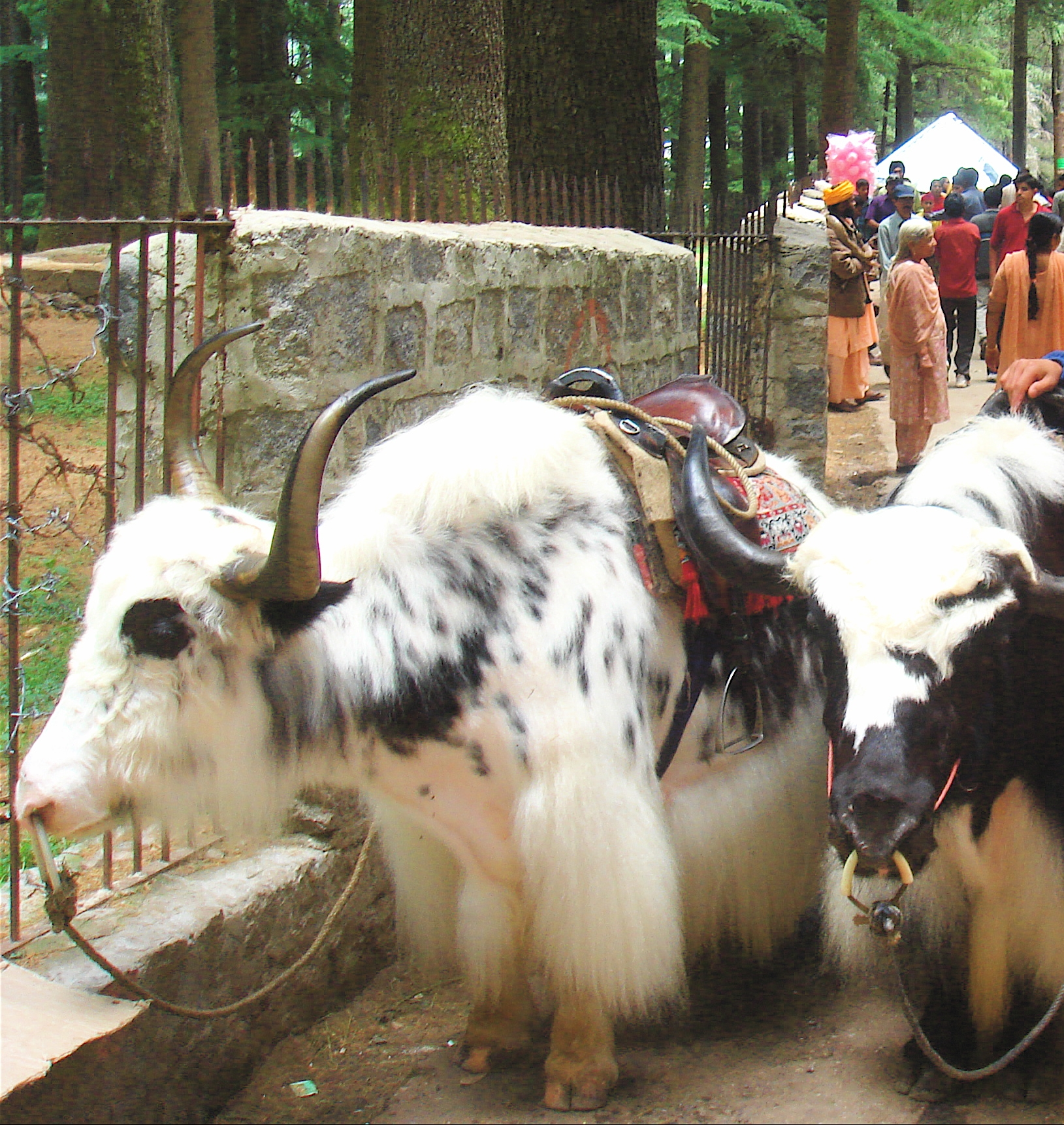 http://commons.wikipedia.org/wiki/File:Yaks_in_Manali.jpg
