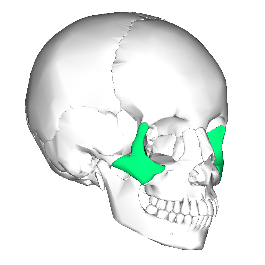 file:zygomatic bone lateral2 - wikimedia commons, Human Body