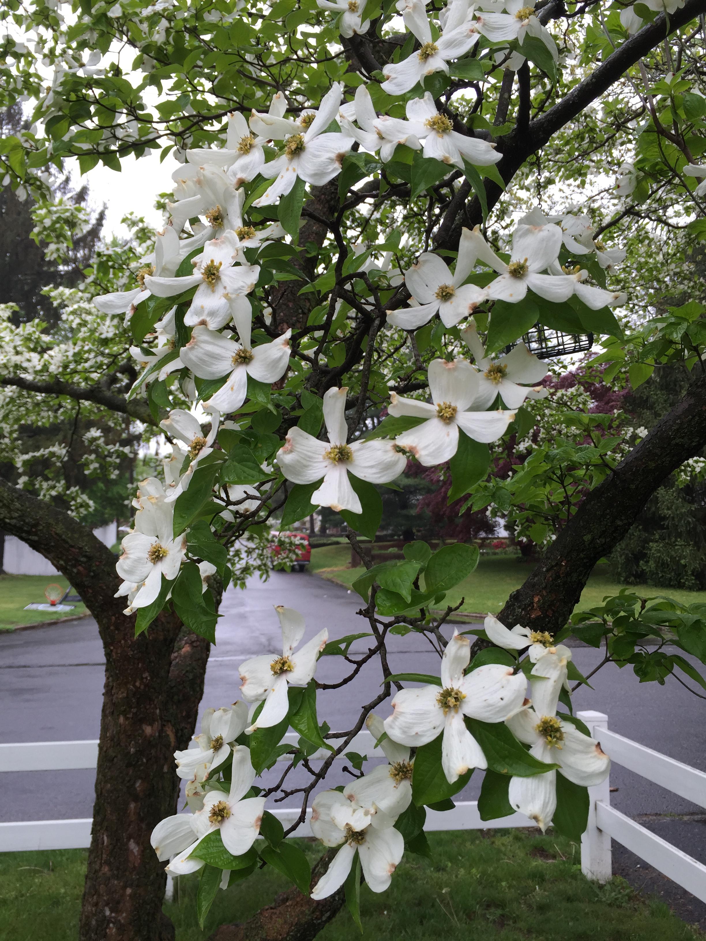 File2016 05 03 11 07 19 White Flowering Dogwood Blossoms Along