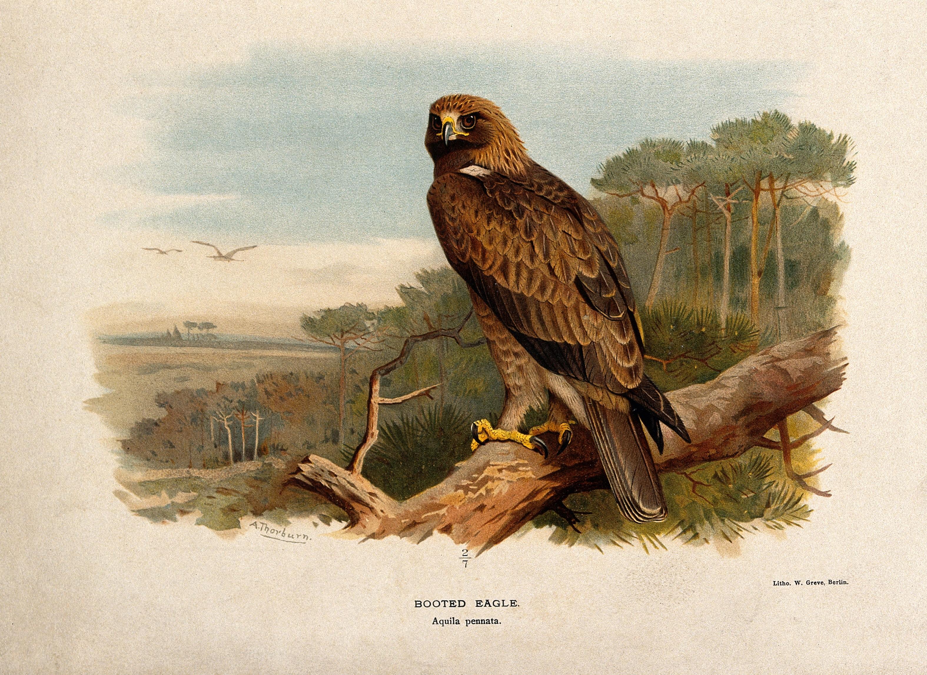 File:A booted eagle (Aquila pennata). Chromolithograph by ...