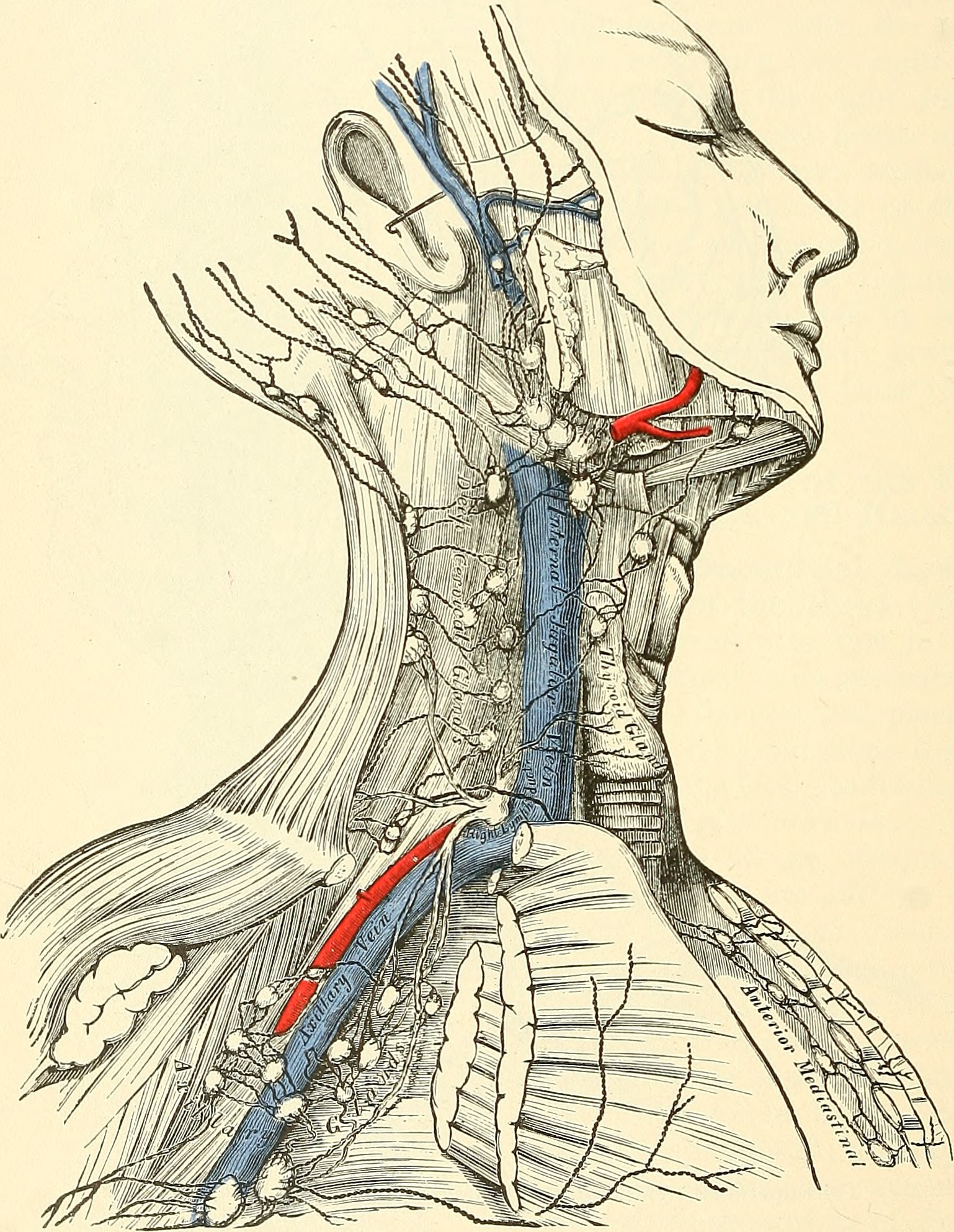 File:Anatomy, descriptive and surgical (1887) (14579220438).jpg ...