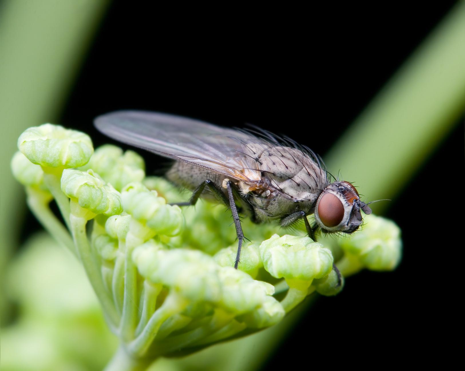Anthomyiidae - Wikidata