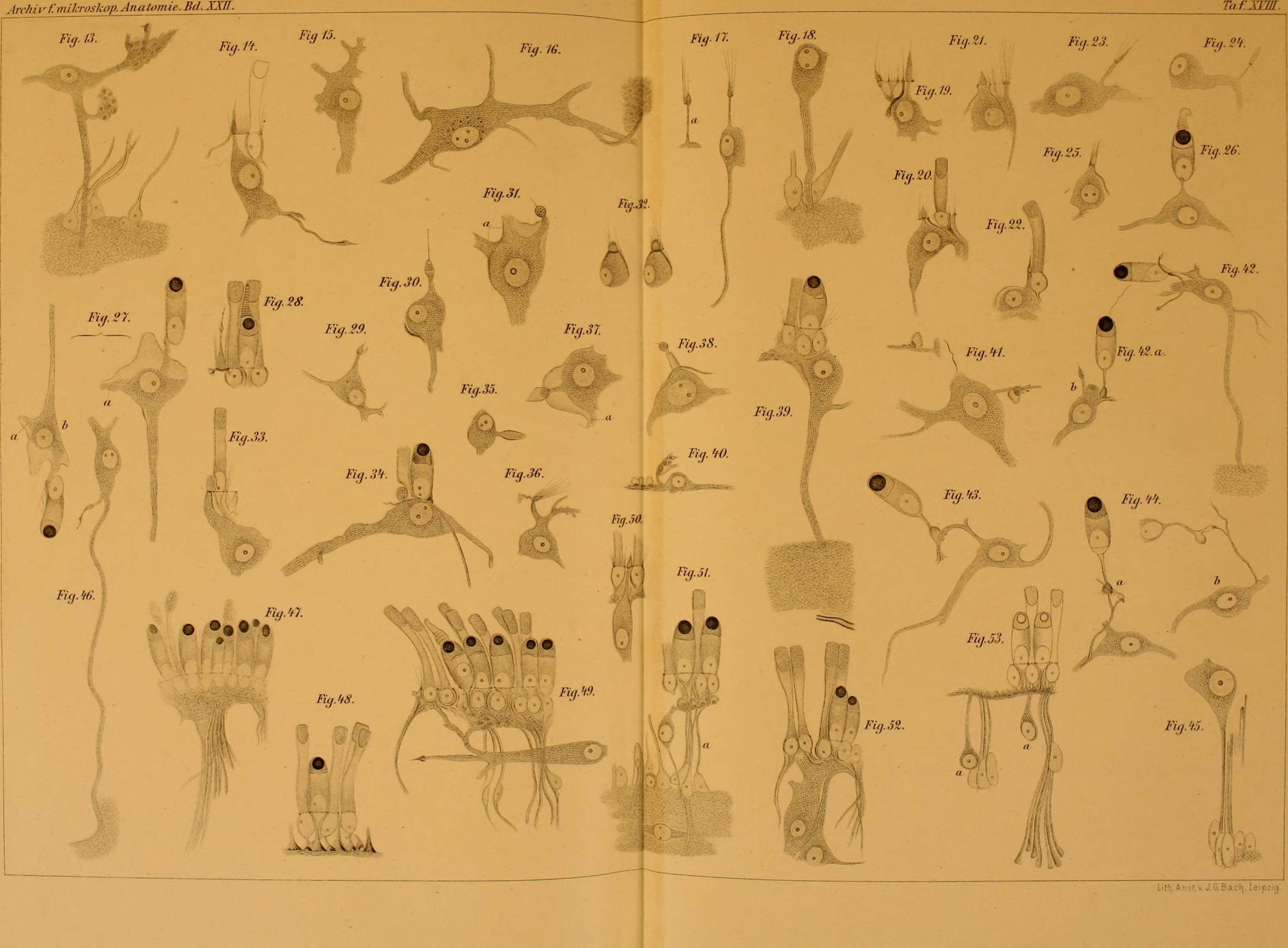 File:Archiv für mikroskopische Anatomie (1883) (19705846904).jpg ...