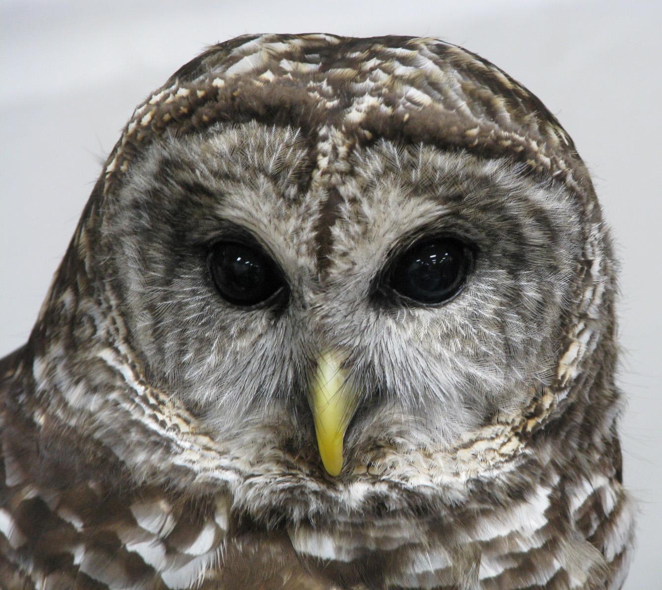 橫斑林鴞 维基百科 自由的百科全书