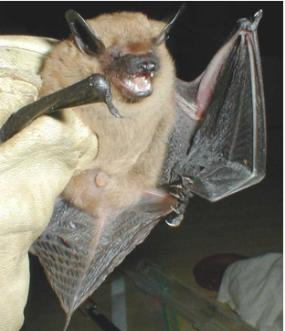 Big brown bat (Eptesicus fuscus)