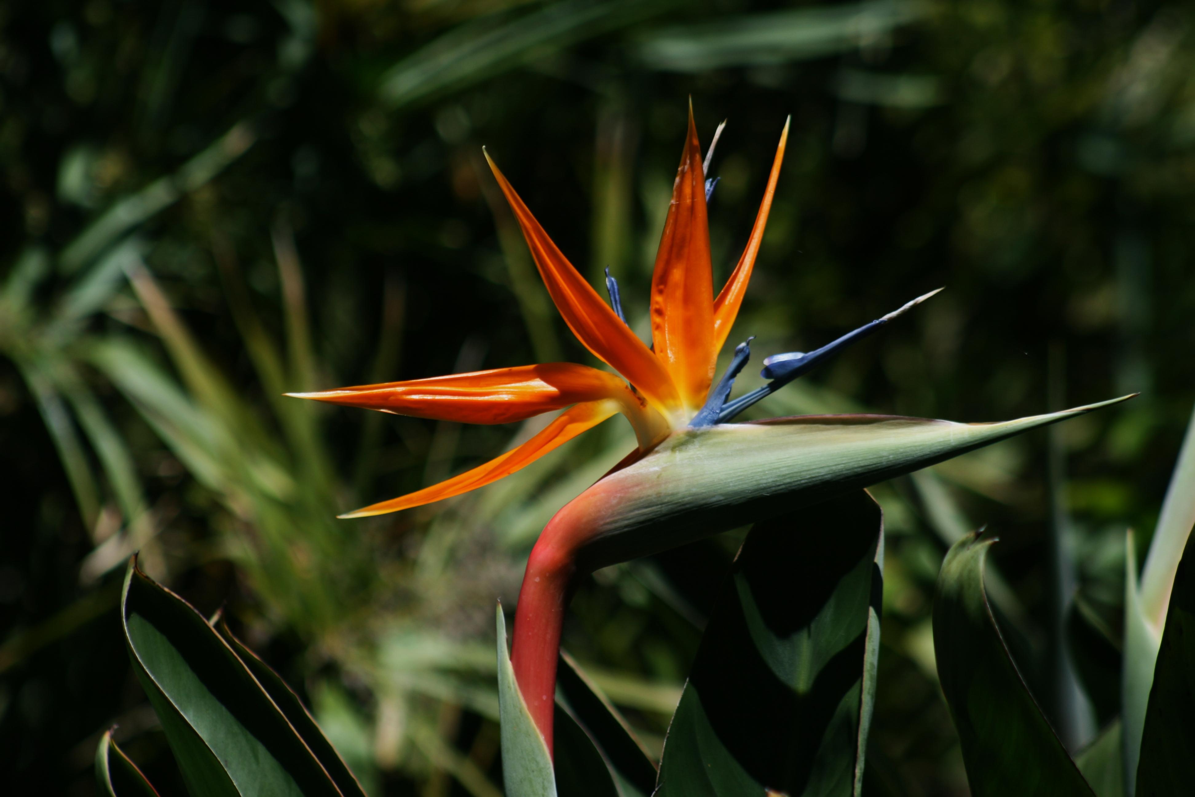 Papegøyeblomst, Strelitzia reginae