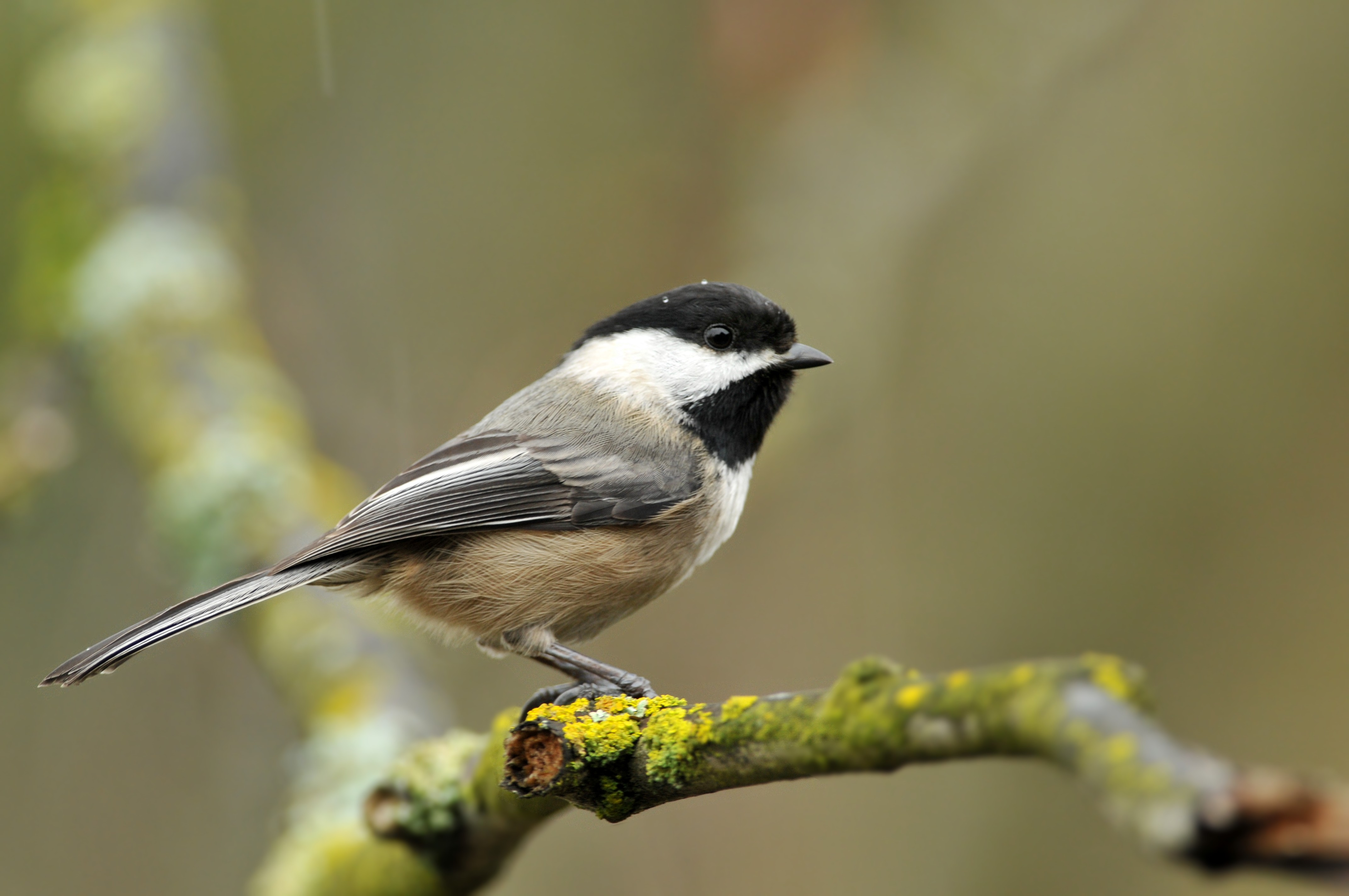 Black capped chickadee sits on a tree branch in the rain