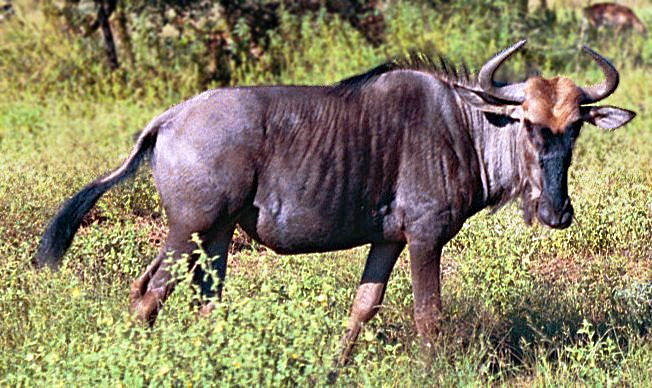 Mods and admins! Black-wildebeest-aka-gnu