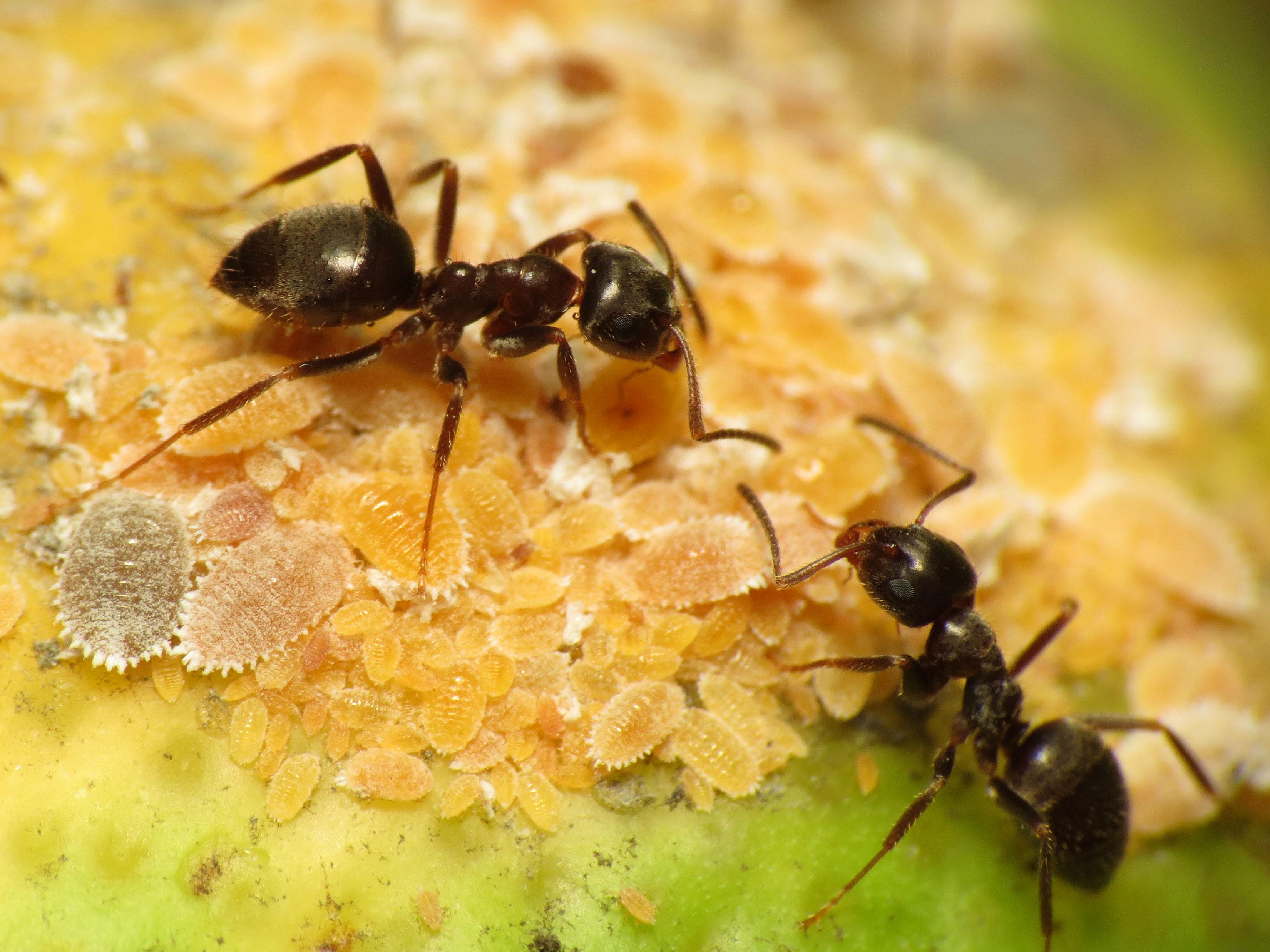 File:Black Garden Ant Tending Citrus Mealybug (15878146429)