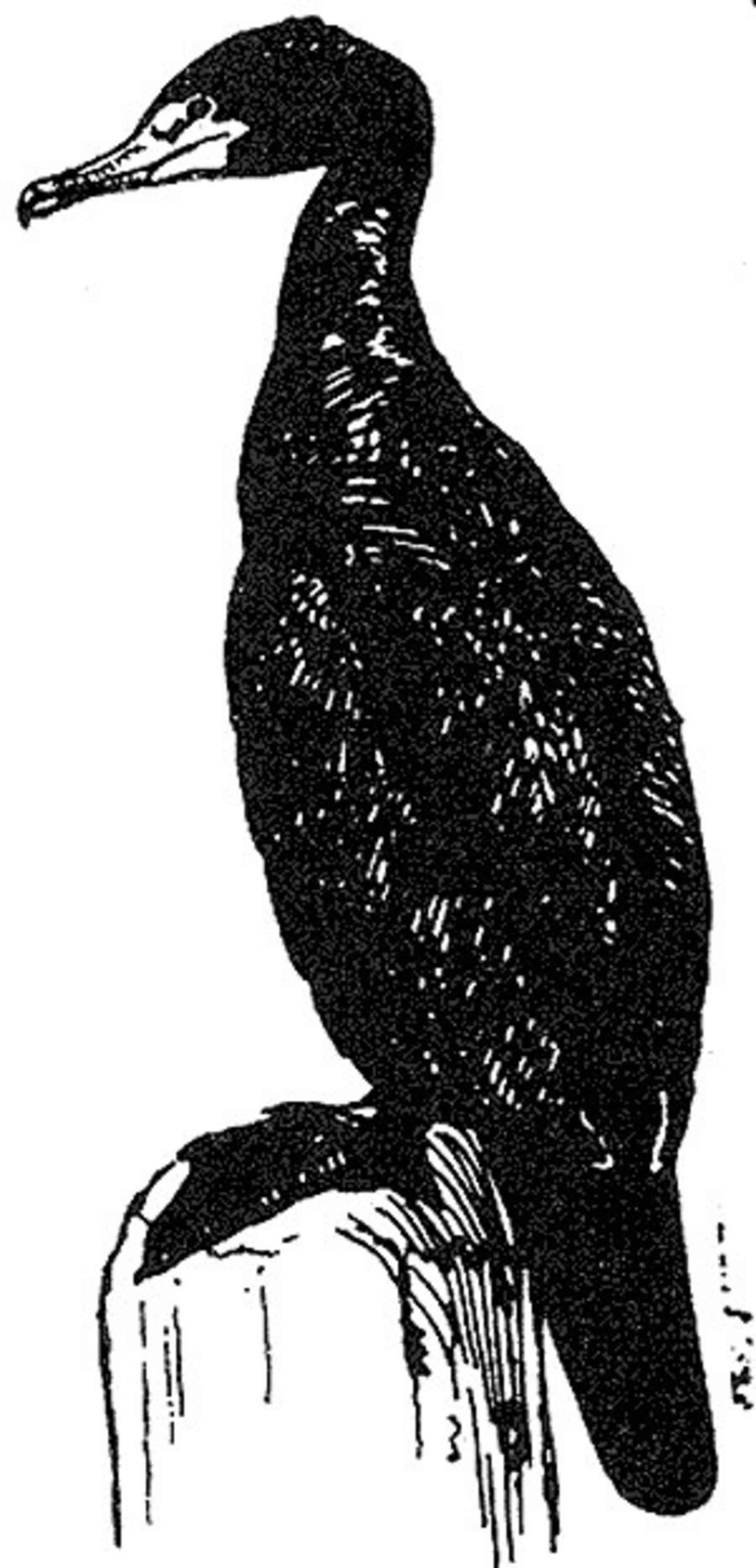 Black And White Line Art : File black and white line art of cormorant bird g