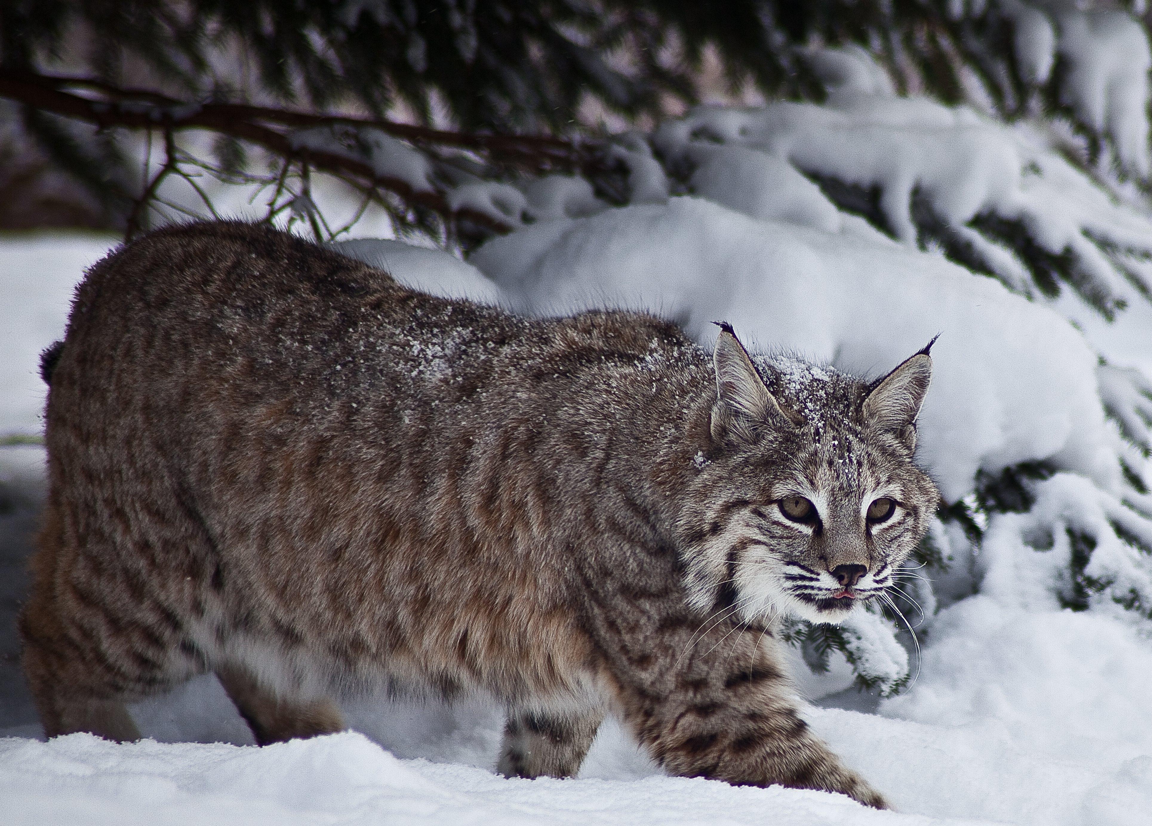 Taiga Animals : Bobcat