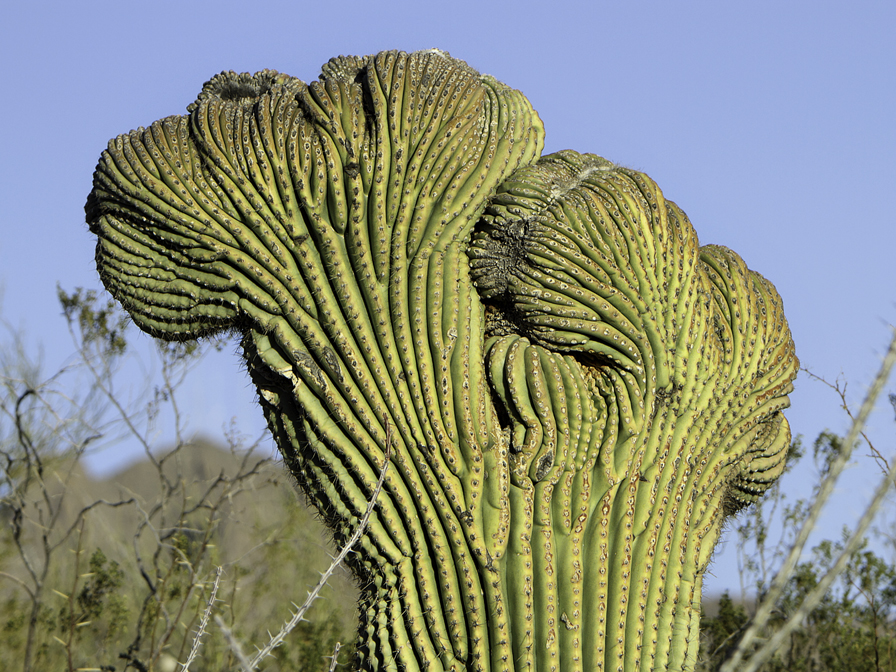 File carnegiea gigantea saguaro cactus jpg wikimedia for Tipos de cactus y sus nombres comunes
