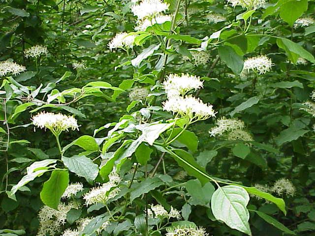 Roter hartriegel wikipedia for Nomi di arbusti e cespugli