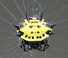 <i>Gasteracantha cancriformis</i> species of arachnid