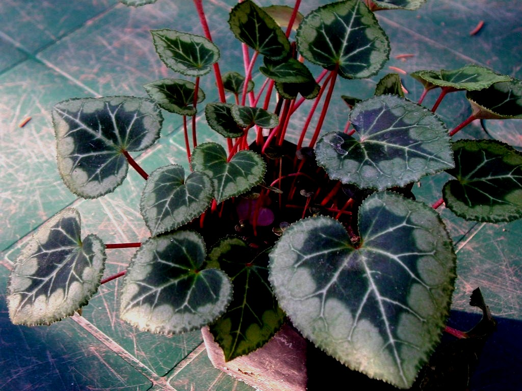 File cyclamen persicum wikimedia commons for Plantas de interior hojas rojas