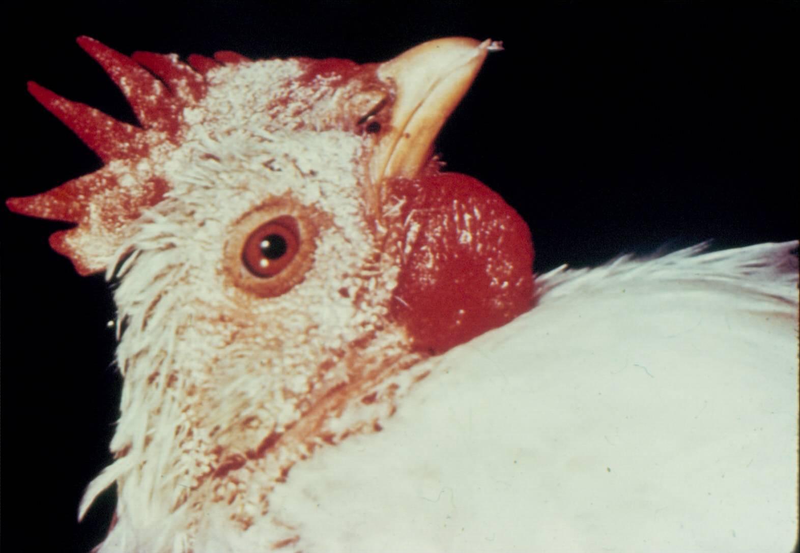 Na obrázku je fotografie hlavy nosnice, která má obličej a hřebínek viditelně bělavý