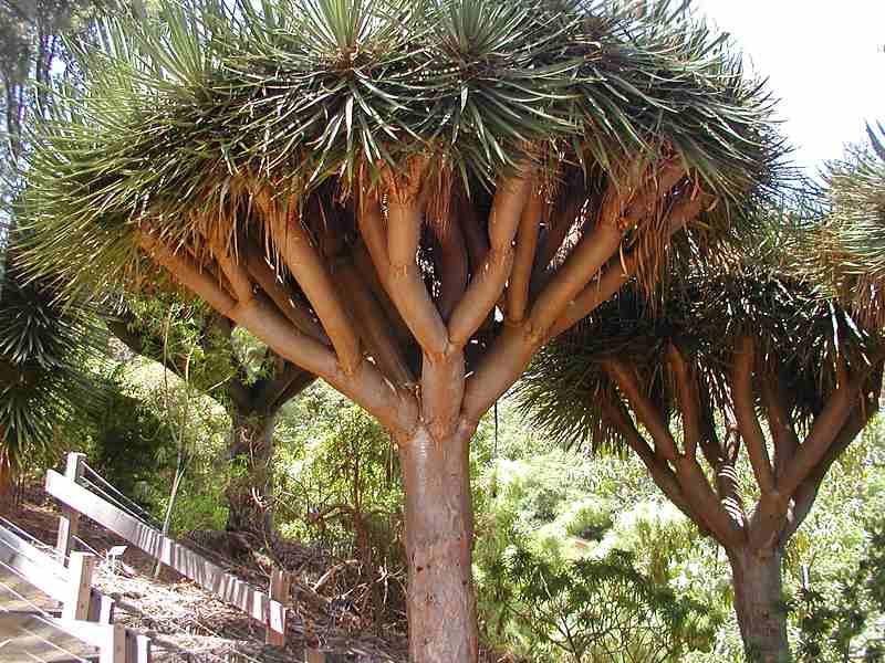 جزيرة الأحلام سقطرى Dragon_tree_2.jpg