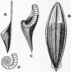 EB1911 Cephalopoda Fig. 17.—Internal Shells of Cephalopoda.jpg