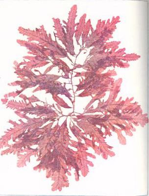 File fmib 53597 rhodophycees ou floridees algues rouges for Algues rouges piscine