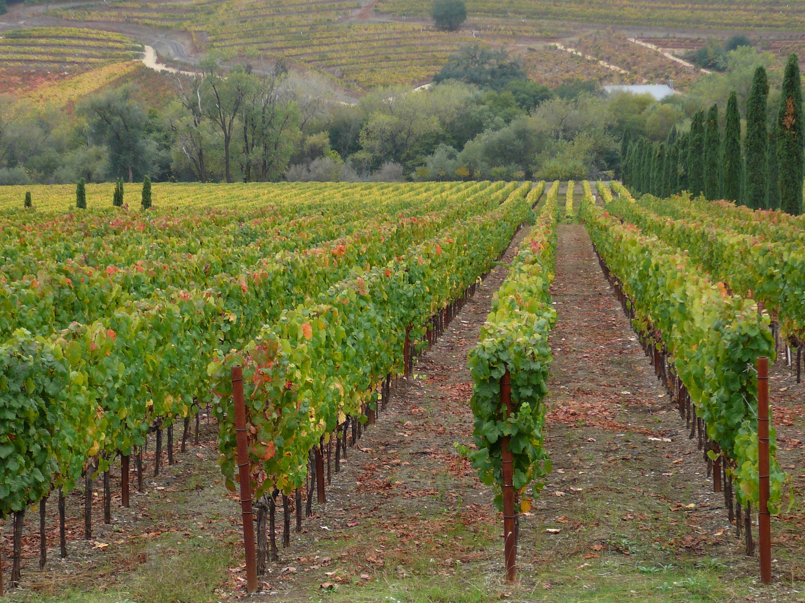 File Ferrari Carano Vineyard In Dry Creek Jpg Wikimedia