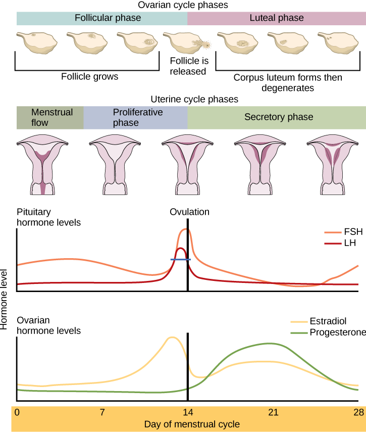 Can Natural Progesterone Cream Cause Diarrhea