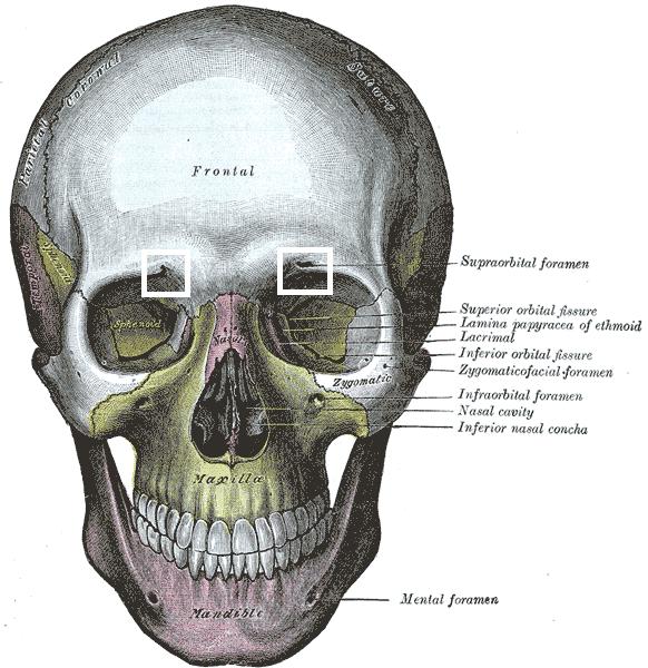 Foramen supraorbitale – Wikipedia