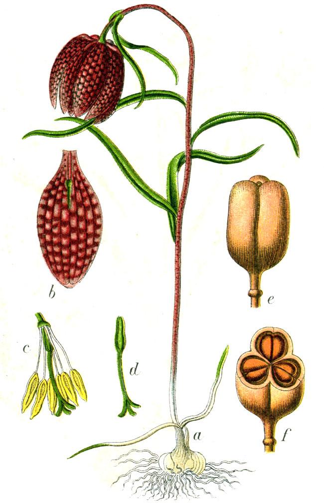 Korunkovka strakatá (Fritillaria meleagris)