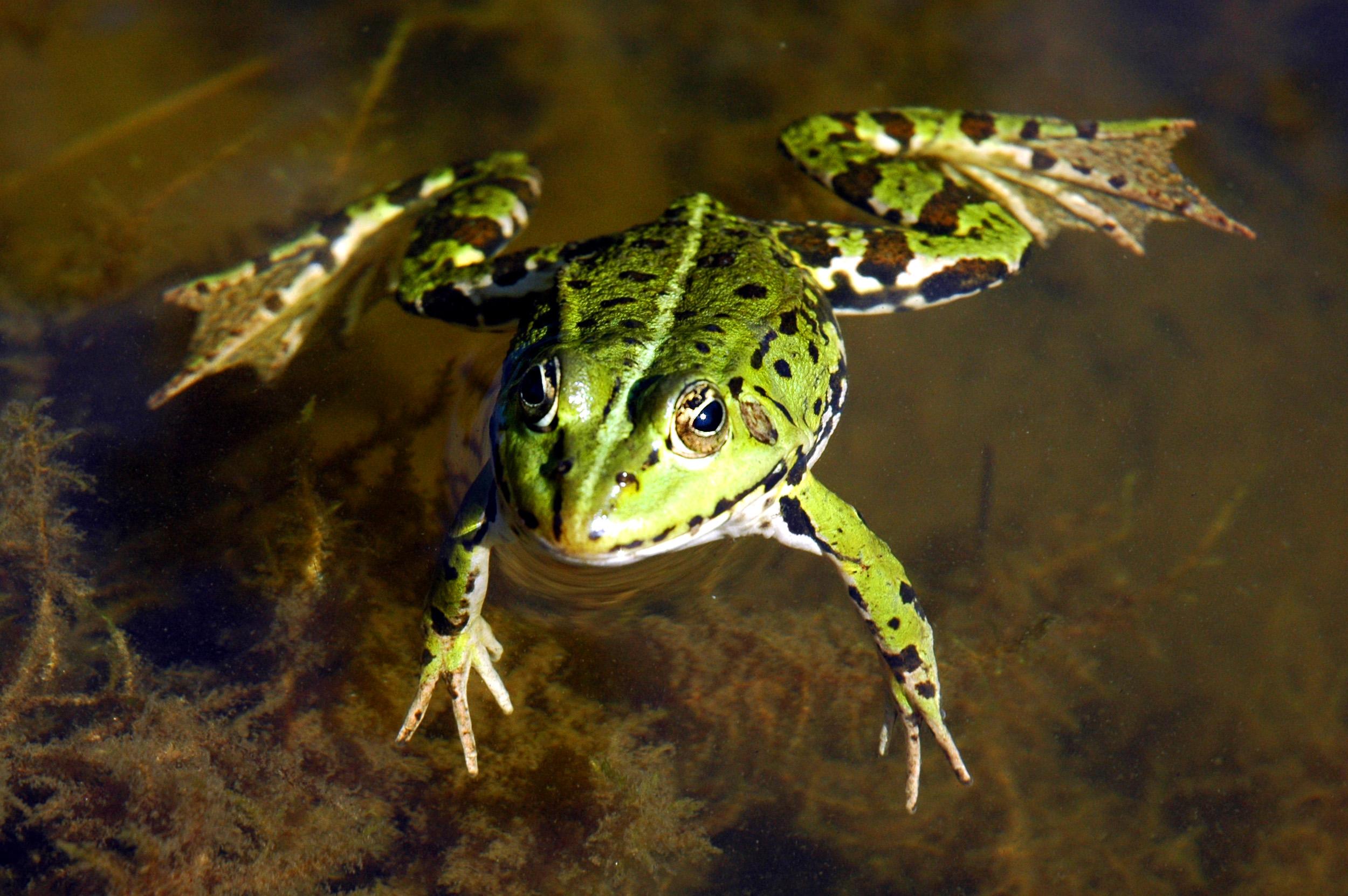 wasser frosch