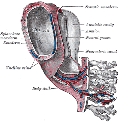 Lateral plate mesoderm