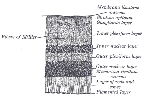 Section of retina Gray881.png