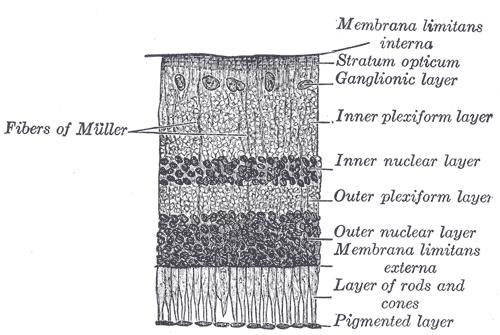 neuropil