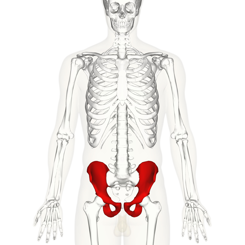 Hip Bone Wikiwand