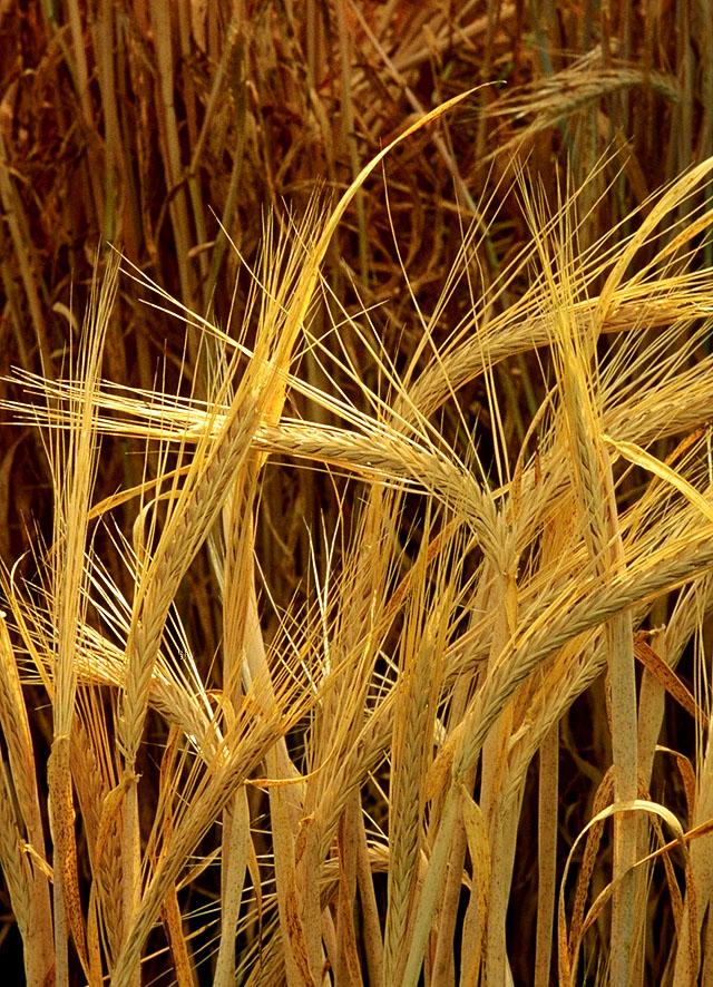 barley-philippines