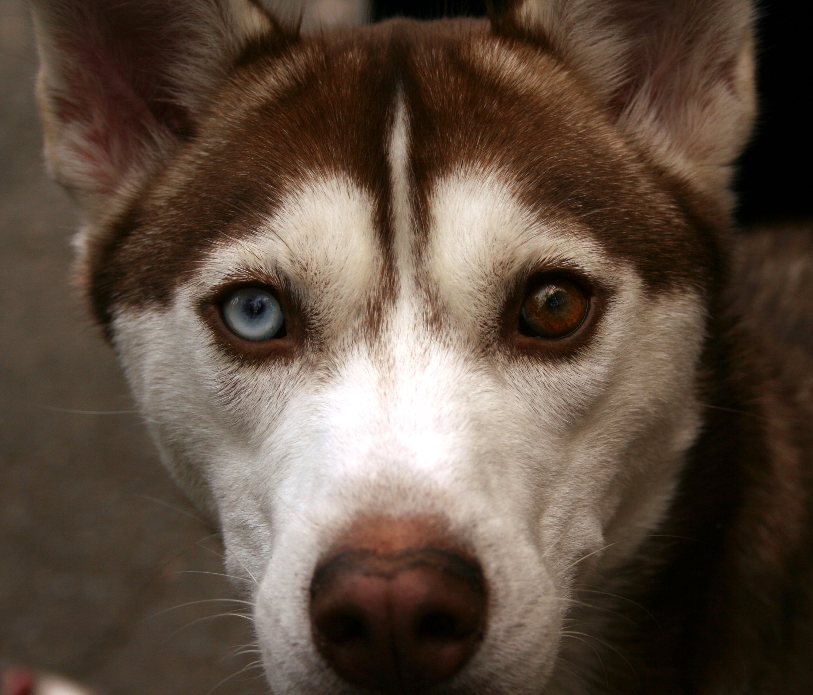 Image Result For Copper Siberian Husky