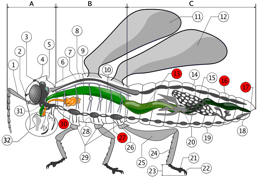 Fileinsect Digestive System Diagramg Wikimedia Commons