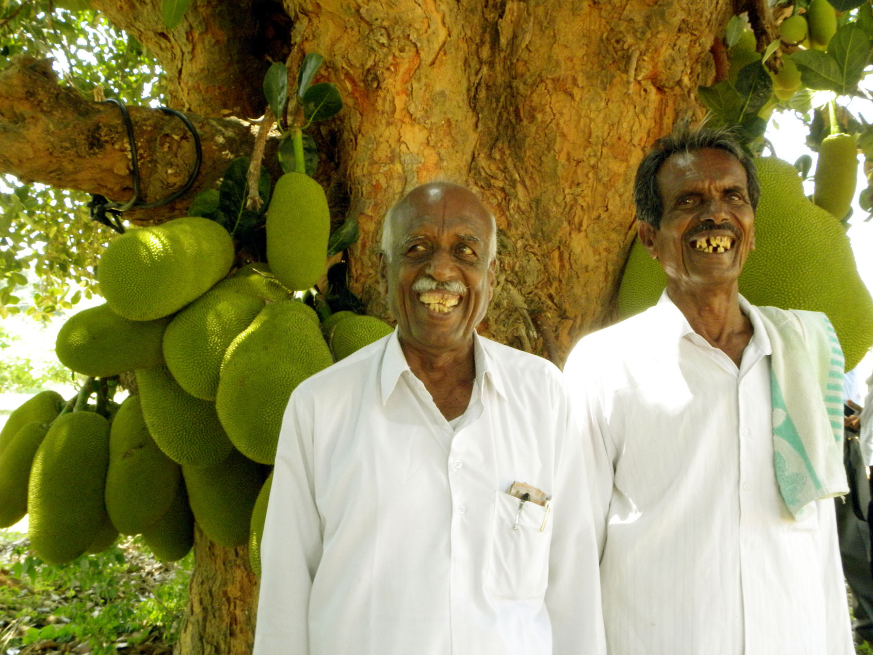 File Jackfruit Kalpavriksha Jpg Wikimedia Commons