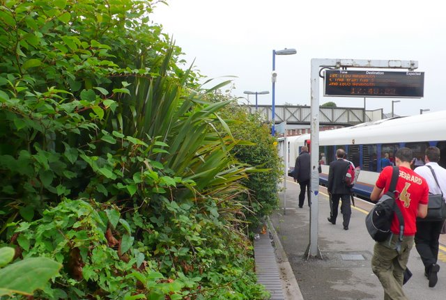 File:Japanese Knotweed at Dorchester South Station - geograph.org.uk - 910456.jpg