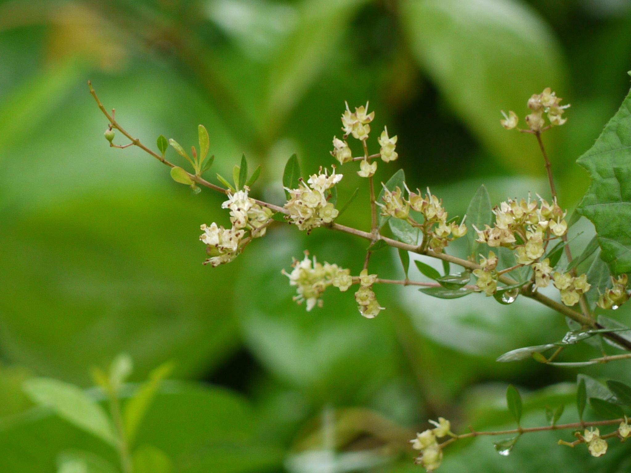 Lawsonia inermis - Wikipedia