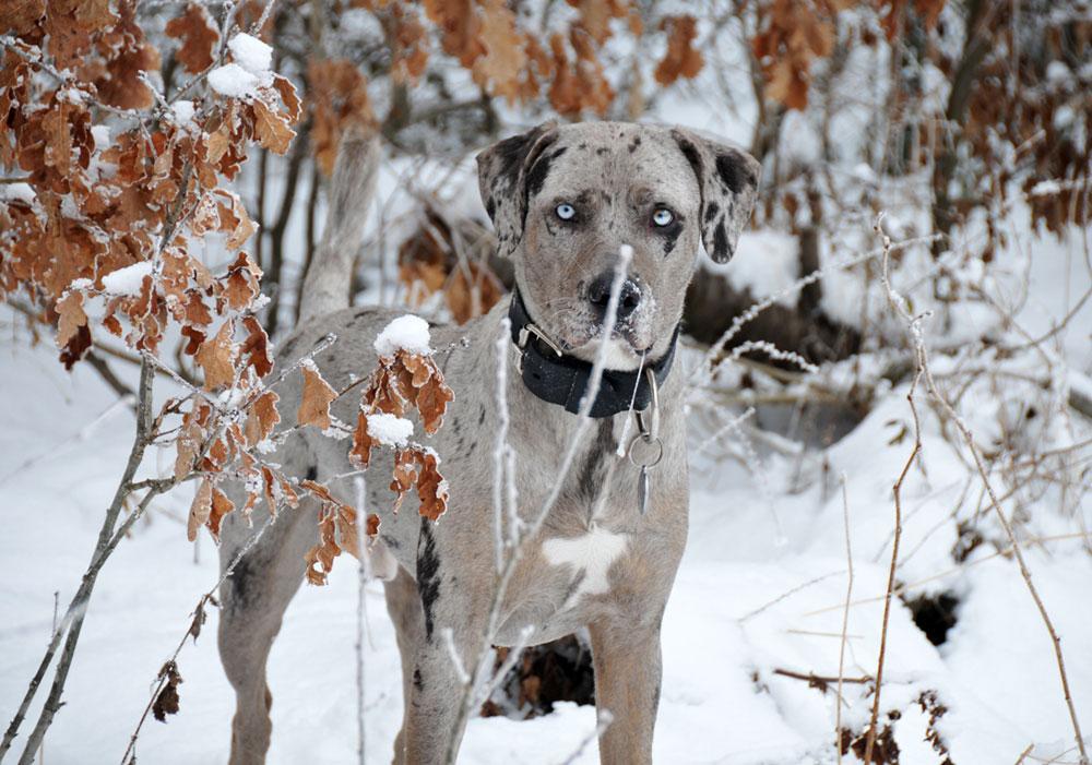 получения леопардовая собака катахулы фото студии можно