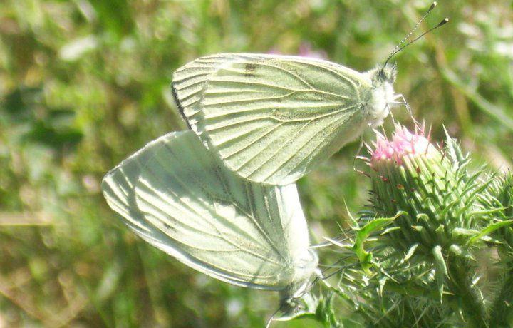 Anunturi fluture - fluture