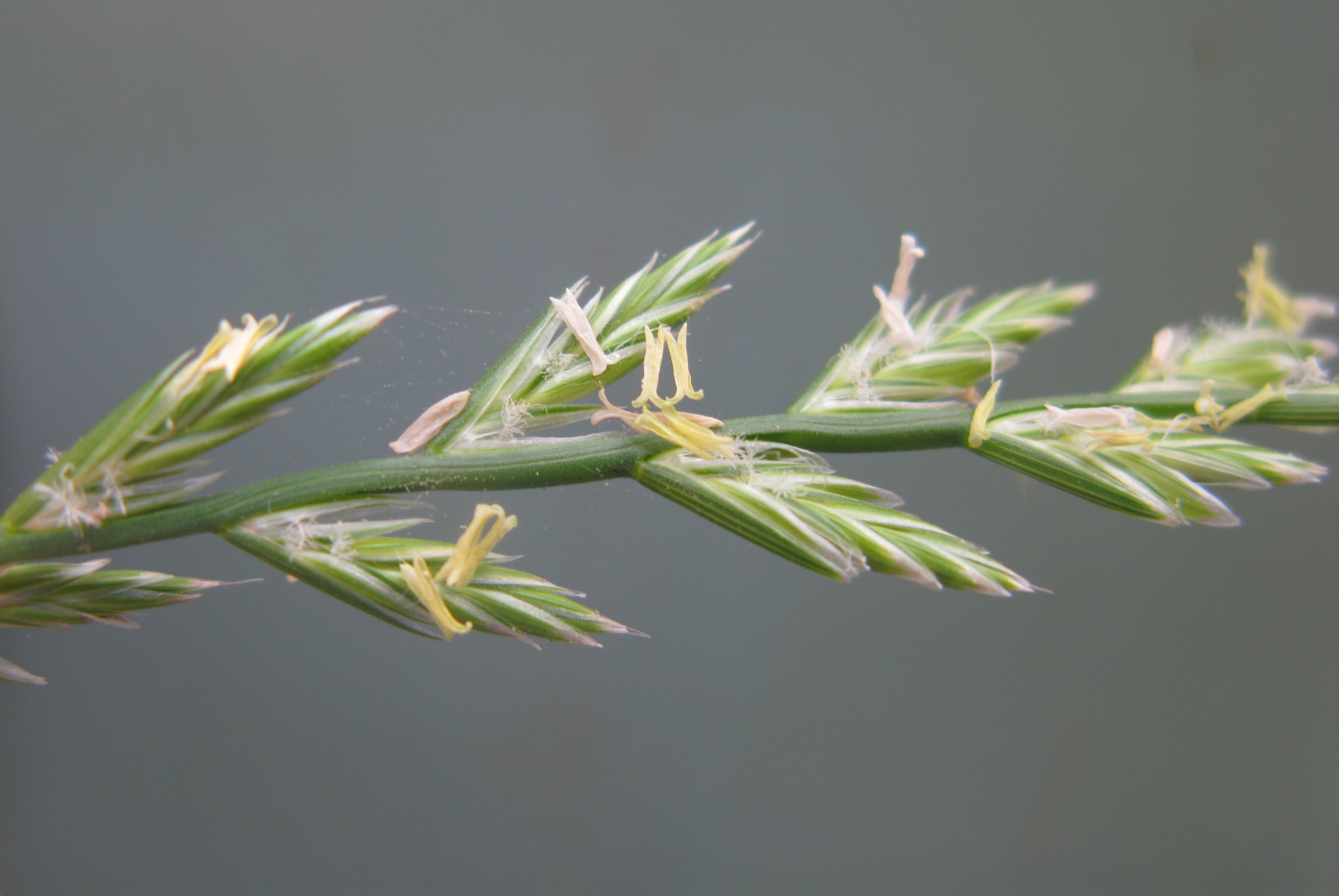 By Harry Rose from South West Rocks, Australia (Lolium perenne spikelets2 anthesis) [CC BY 2.0 (http://creativecommons.org/licenses/by/2.0)], via Wikimedia Commons