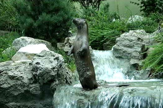 Las Nutrias, El animal mas hermoso del Planeta