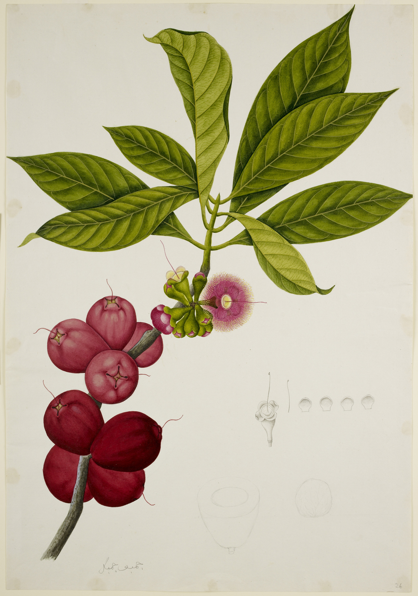 File:Malay Apple - 40 drawings of plants at Bencoolen, Sumatra (c.
