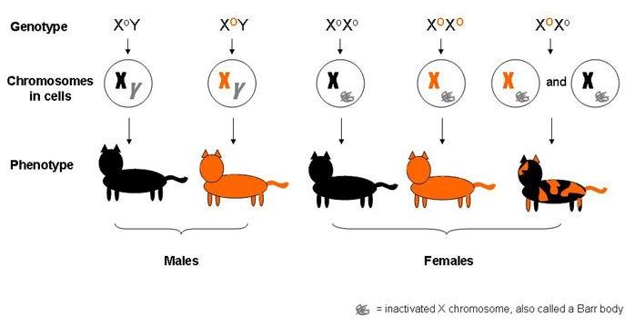 Kucing Belang Tiga Wikipedia Bahasa Indonesia Ensiklopedia Bebas