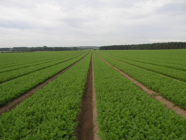 Millions of Carrots - geograph.org.uk - 189767