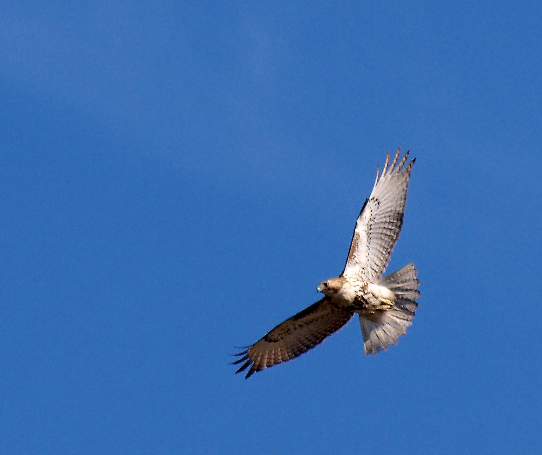 File:Mineola, NY Red Tailed Hawk.jpg - Wikimedia Commonsmineola village