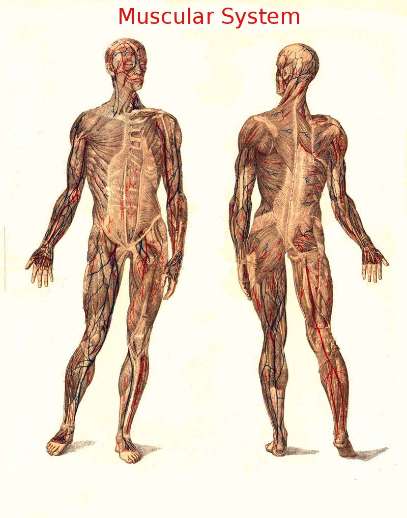 Human Anatomy/Gross Anatomy - Wikibooks, open books for an open world