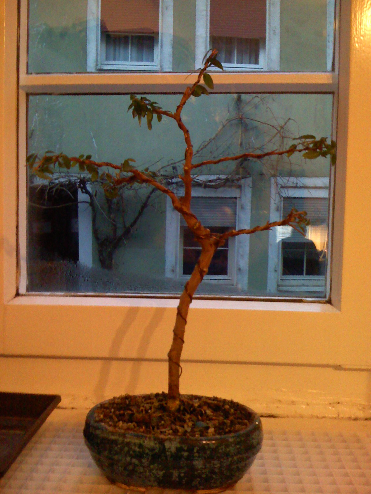 Filemyrtle Myrtus Communis Bonsai Wikimedia Commons Wiring Branches