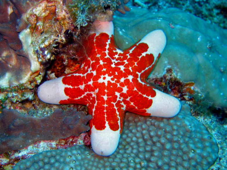 Granulated Sea Star - Let's do Some Zoology! - Tumblr Zoology Pictures Animals